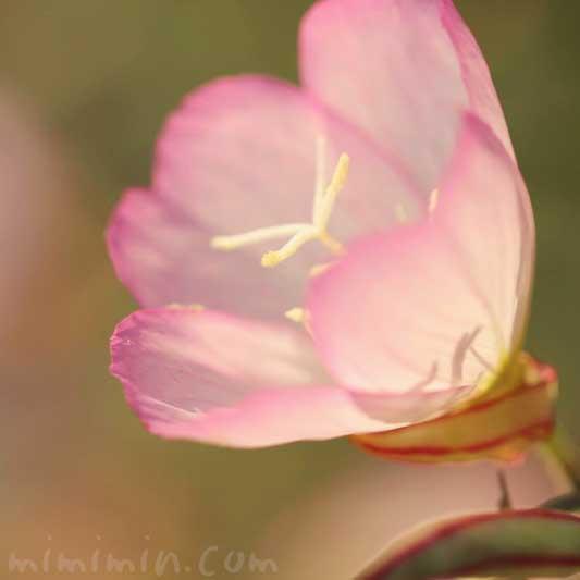 ヒルザキツキミソウの誕生花の画像