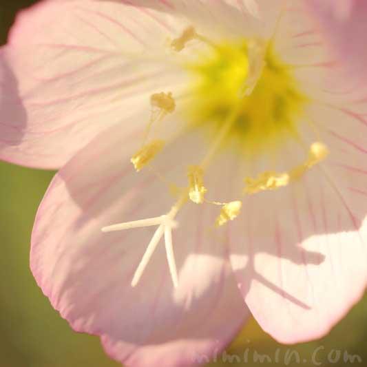 ヒルザキツキミソウの花言葉・誕生花の画像