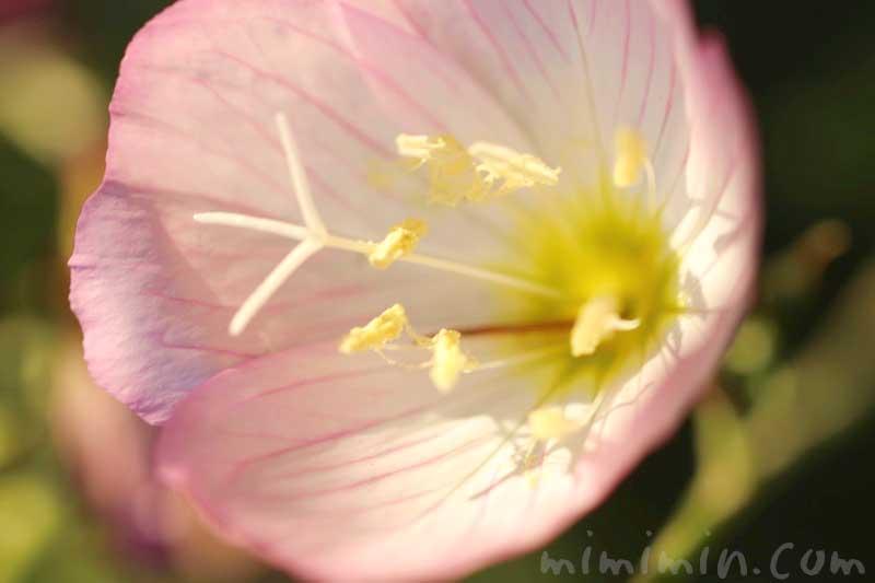 ヒルザキツキミソウの花の写真と花言葉と誕生花
