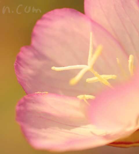 ヒルザキツキミソウ(昼咲き月見草)の花の写真・花言葉