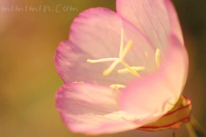 ヒルザキツキミソウの花の写真・花言葉・誕生花の画像