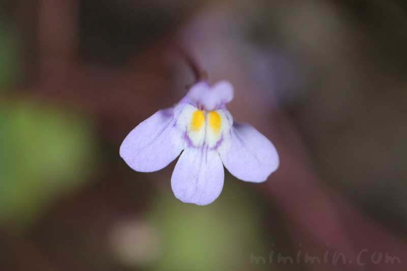 蔦葉海蘭の画像