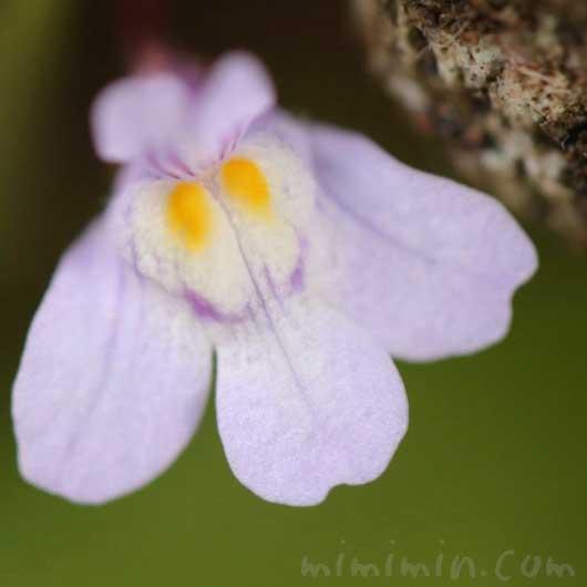 シンバラリアの花の写真