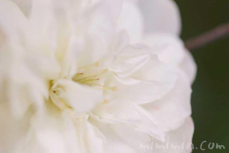 ミニバラ(白色)の花の画像