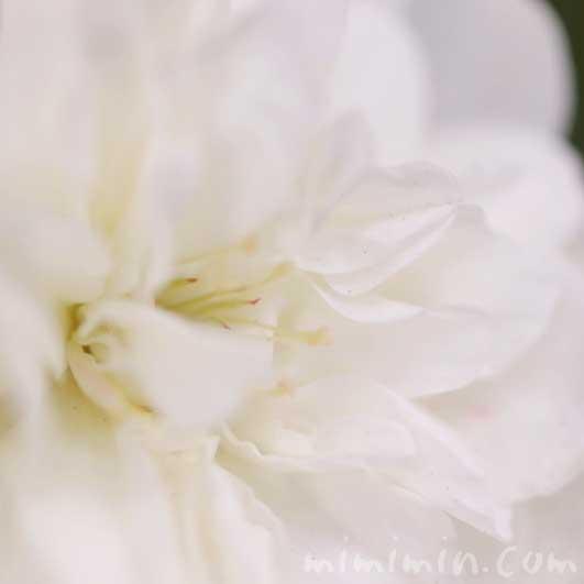 ミニバラ(白)の画像