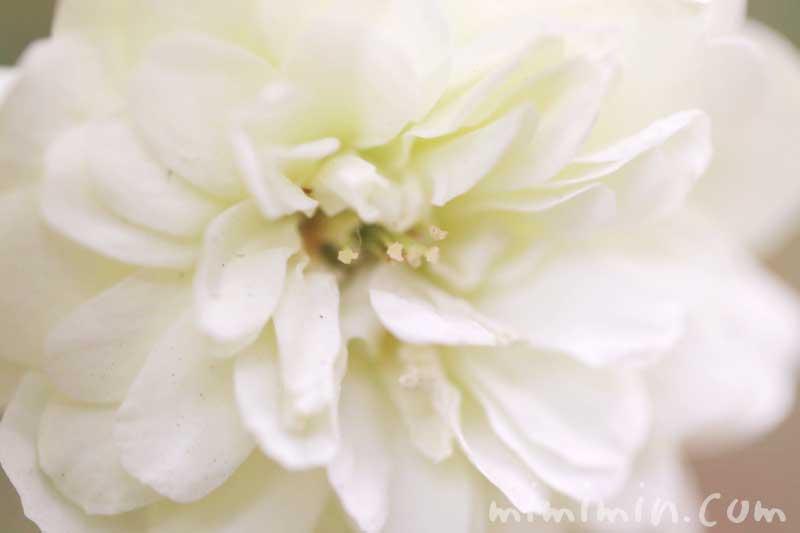 ミニバラ(白色)