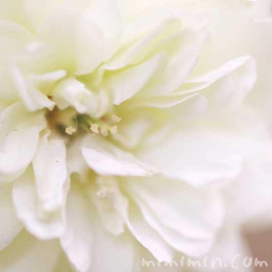 ミニバラ(白)の花