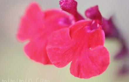 チェリーセージの花の写真と花言葉と名前の由来