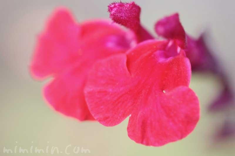 チェリーセージの花の写真と花言葉と名前の由来の画像