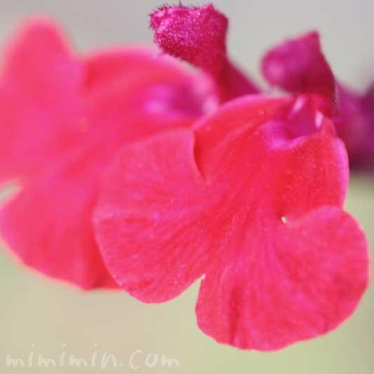 赤いチェリーセージの写真と花言葉の画像