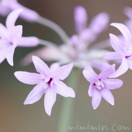 ツルバキア(紫)の写真 花言葉