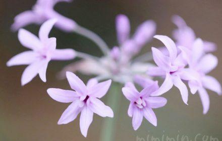 ツルバキア(紫)の花の写真と花言葉