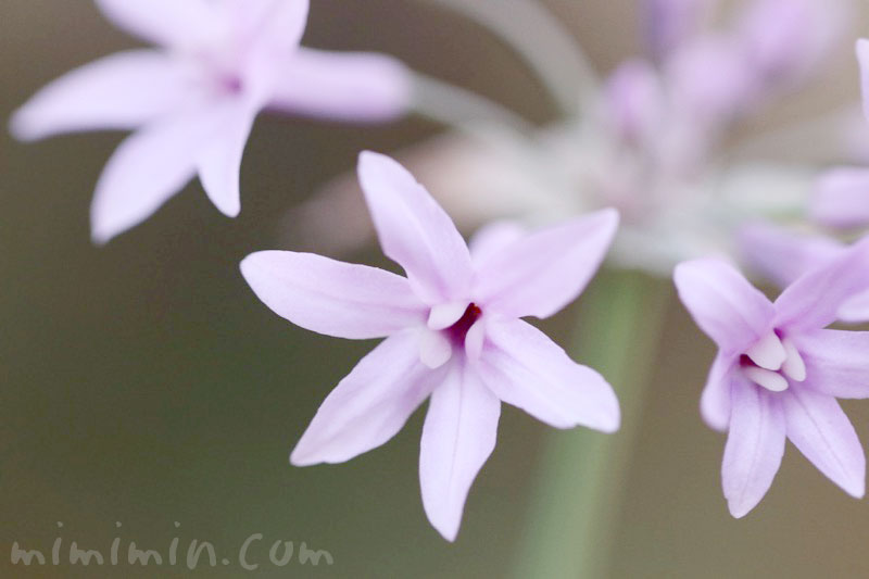 ツルバキア(紫)の花の写真・花言葉の画像