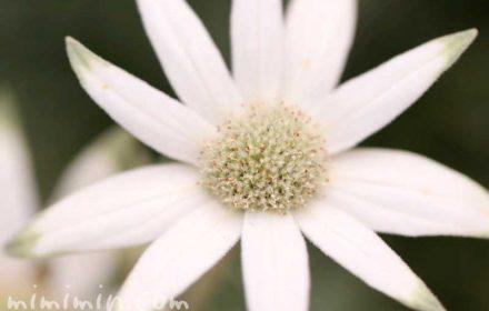 フランネルフラワーの花の写真・花言葉の画像