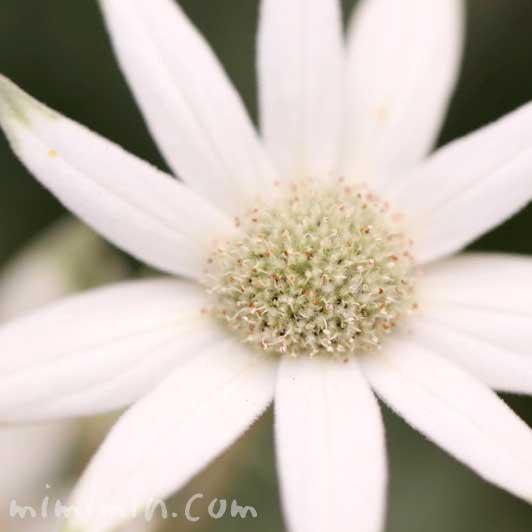 フランネルフラワーの写真・花言葉の画像