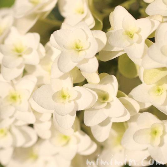 柏葉紫陽花の花言葉と名前の由来の画像