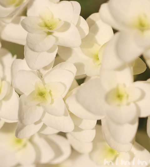 カシワバアジサイ(柏葉紫陽花)|花の写真・花言葉
