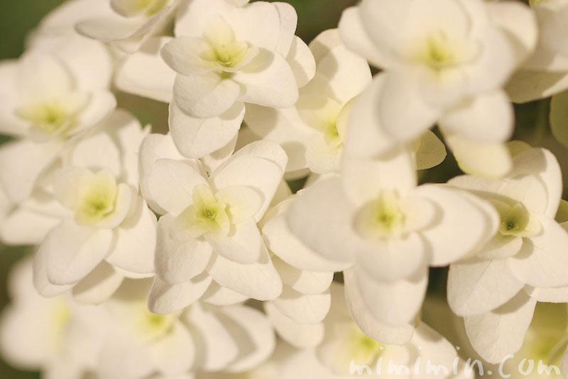 カシワバアジサイの花の写真と花言葉と名前の由来