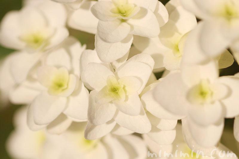 カシワバアジサイの花の写真・花言葉・名前の由来の画像