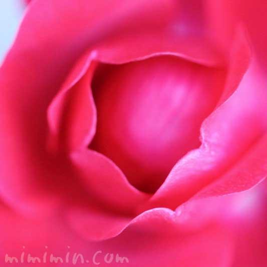 赤いバラの写真|バラの香りの効果・効能の画像