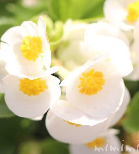 白いベゴニアの写真&花言葉