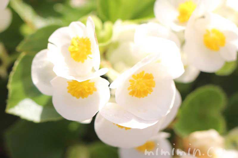 白いベゴニア 花言葉