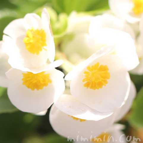 ベゴニア(白)花言葉