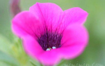 ペチュニア(赤紫色)の花の写真 花言葉