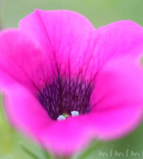ペチュニアの花言葉・名前の由来・花の写真
