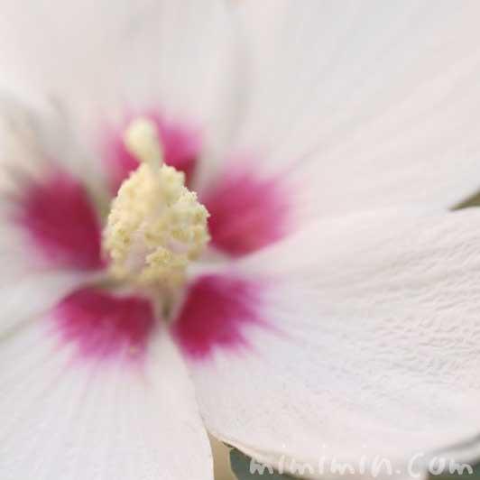 ムクゲの花の写真・花言葉・誕生花の画像