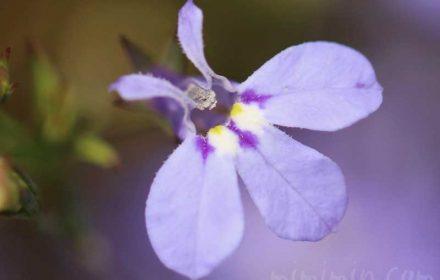 ロベリア(青)の花の写真