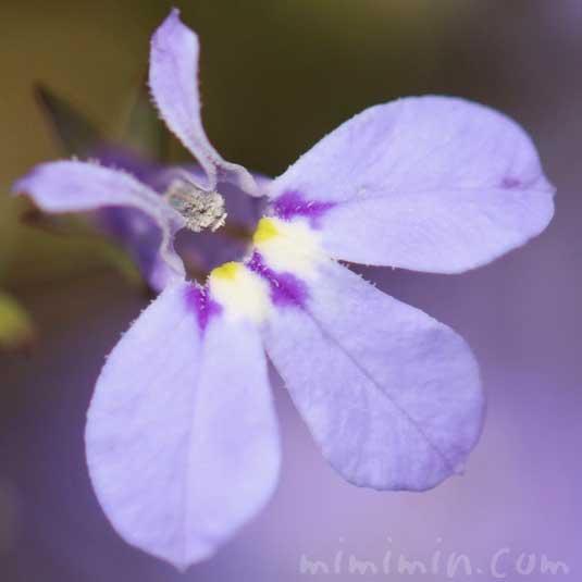 青いロベリアの花