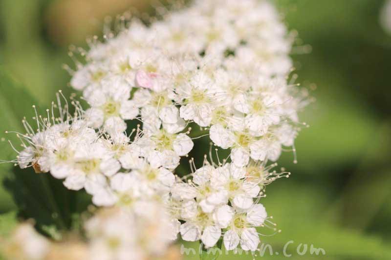 シモツケの花の写真