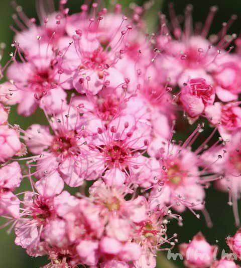 シモツケの花言葉・誕生花