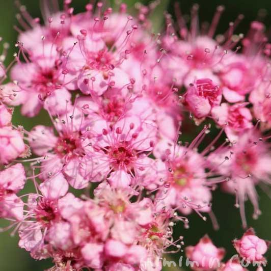 シモツケ(ピンク)の画像