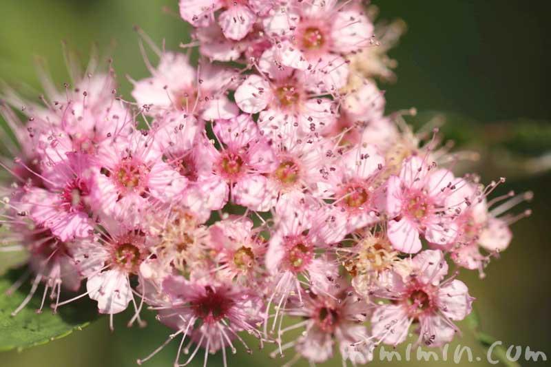 シモツケ(ピンク)の写真と花言葉の画像