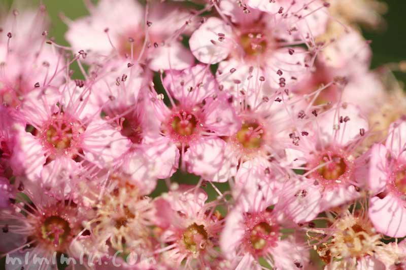 シモツケ(ピンク)の花の写真