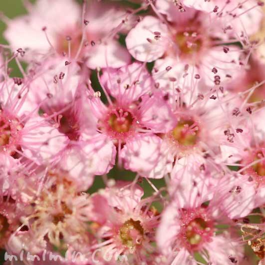 シモツケ(ピンクの下野)の花