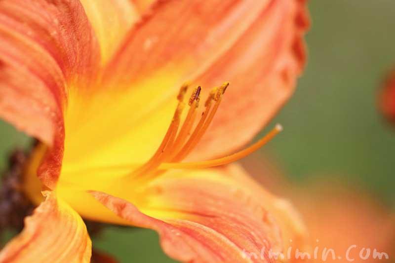 ヤブカンゾウの花の写真