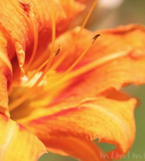 ヤブカンゾウ(薮萱草)の花の写真・花言葉