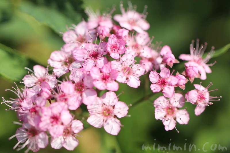 シモツケ(下野)の写真と花言葉の画像