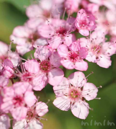 シモツケ(下野)の花の写真・花言葉