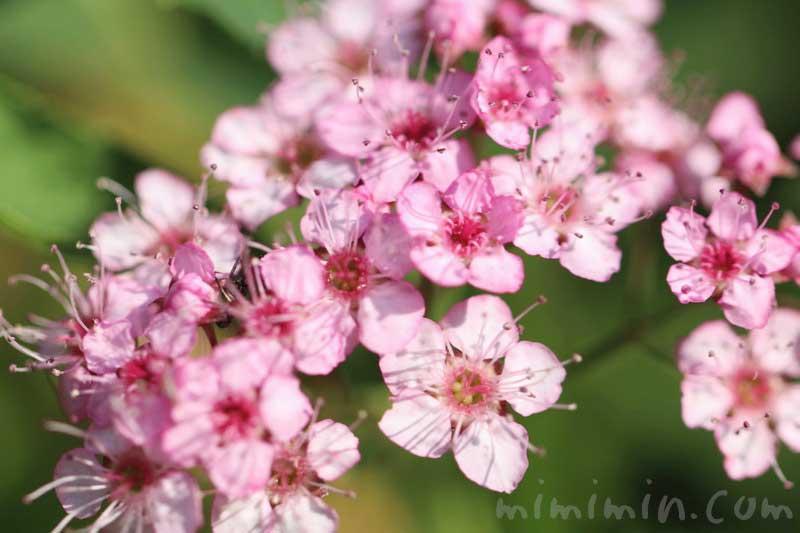 シモツケ(下野) 花の写真と花言葉