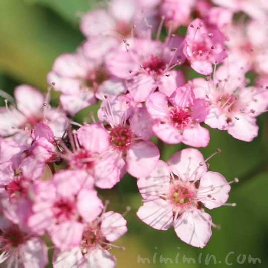 シモツケ(下野)の花の写真と花言葉の画像