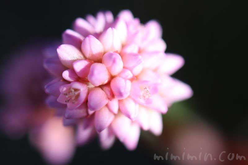 ヒメツルソバ(ポリゴナム)の花の花言葉