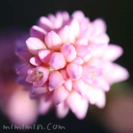 ヒメツルソバ(ポリゴナム)の花言葉の写真