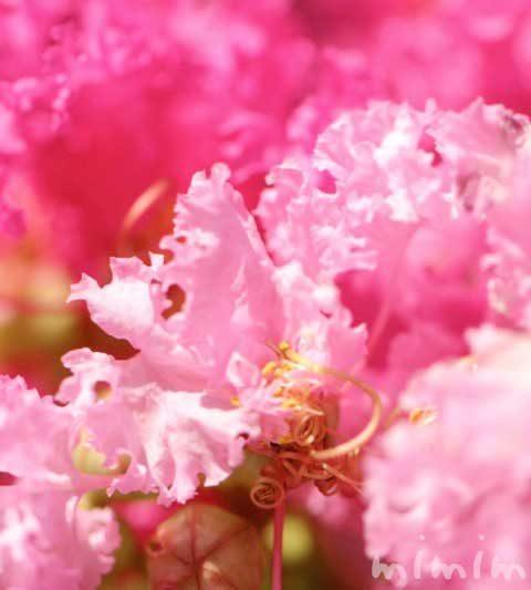サルスベリの花言葉・ピンク色のサルスベリの写真