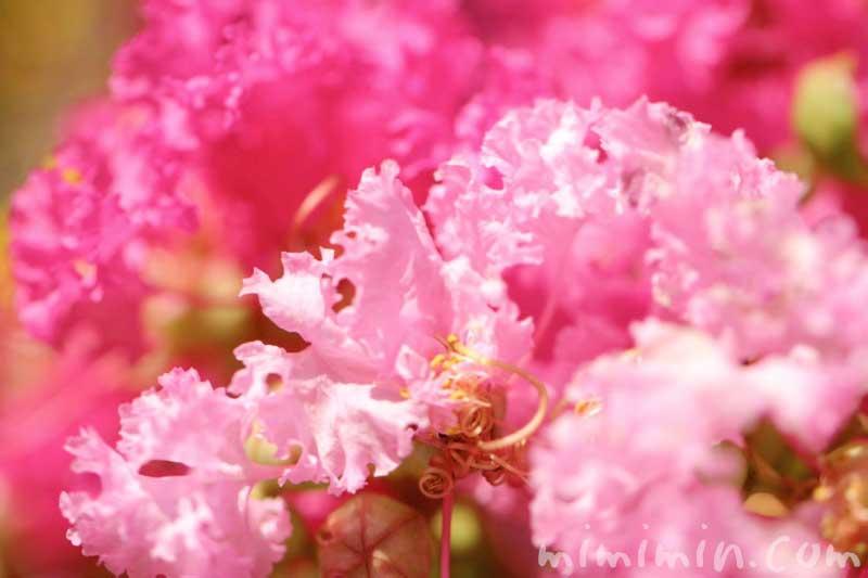 ピンク色のサルスベリの写真・花言葉の画像