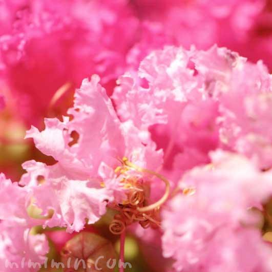 ピンク色のサルスベリの花の写真・花言葉の画像