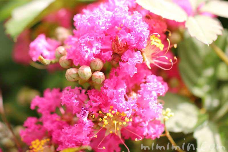 百日紅の花の写真と花言葉と誕生花